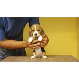 Cachorra Beagle Full Pedigree