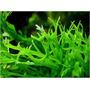 Acuario-peces-plantas Acuaticas Import- Helecho Windelow !!