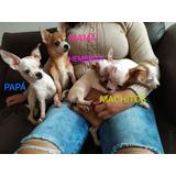Chihuahuas Toy 2 Meses