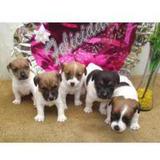 Autenticos Cachorros Jack Russell Criadero Juaquinmdc