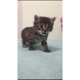 Gatitos 1 Mes Y Medio, De Calendario!!! , Adopción