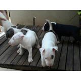 Cachorritos Bullterrier A1