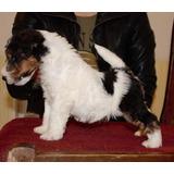 Preciosos Cachorros Fox Terrier Calidad A-1, Padres Pedigri