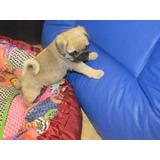 Autenticos Cachorros Pug Carlino A-1, Padres Full Pedigri