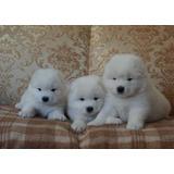 Auténticos Cachorros Samoyedo, Padres Importados  Europeos