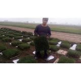 Grass Natural Americano, Venta Por Mayor Y Menor
