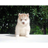 Legitimos Cachorros Husky Siberiano, Excelente Genetica