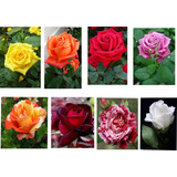 Plantas De Rosas Importadas Por Mayor