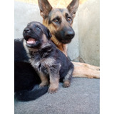 Excelentes Ejemplares Cachorros De  Pastor Alemàn