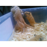 Jerbos Roedores Mascota Hamster