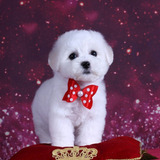 Cachorros Bichon Frise 100% Legitimos *no Poodle*