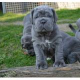 Autenticos Cachorros Mastin Napolitano Calidad A-1