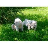 Preciosa Y Legitima Camada De Cachorros Bulldog Ingles A-1