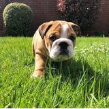 Cachorros Bulldog Ingles Legitimidad Garantizada Pedigree