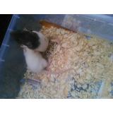 Rata Capuchina Mascota Roedor Hamster