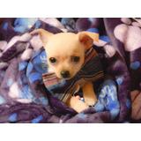 Auténticos Cachorros Chihuahua Toys - Fotos Reales