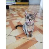 Gato Macho  Atigrado Ultra Cariñoso 3 Meses  En Adopcion