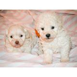 Hermosos Cachorros Poodle Toy - Fotos Reales