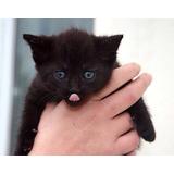 Gatito Negro Puro  5 Semanas Macho, Adopción Responsable