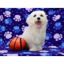Cachorros Bichon Maltes Con Vacunas Ideal Para Departamentos