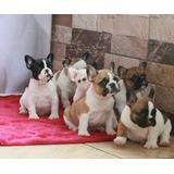 Verdaderos Cachorros Bulldog Frances A-1, Padres Full Pedigr