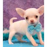 Cachorros  Chihuahuas Miini  Toys  Blancos Cabeza De Manzana