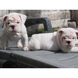 Cachorras Bulldog Ingles Hembritas Blancas, Padres Pedigri