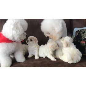 Cachorros Bichon Frise Full Pedigree Mascota Unicos De Casa
