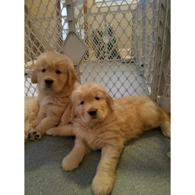 Cachorros Golden Retriever, Padres Importados Full Pedigri