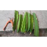 Esquejes Y Plantas De Pitahaya A Nivel Nacional