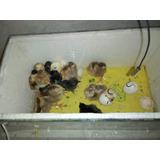 Incubadora Casera Hasta 16 Huevos