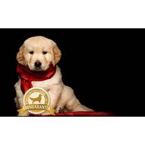 Cachorros Golden Retriever Peru Mejores Goldens A1 Legitimos
