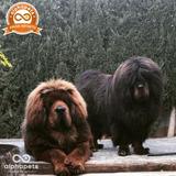 Cachorros Mastin Tibetano Unicos Ejemplares Peru Pedigree Pa
