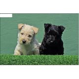 Autenticos Cachorros Scottish Terrier Calidad A-1,