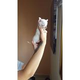 Preciosos Cachorritos Chihuahuas Blancos, Padres Importados