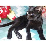 Gatito Negro Macho 4 Meses, Súper Cariñosa, Adopción