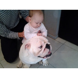 Cachorra Bulldog Ingles Blanca De 7 Meses, Hija De Pedigri
