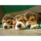 Auténticos Cachorritos Beagle Calidad A-1, Padres Pedigri
