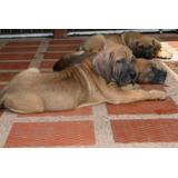 Verdaderos Cachorros Fila Brasileiro, Padres Importados