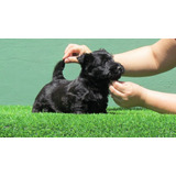 Preciosos Cachorritos Scottish Terrier, Padres Importados