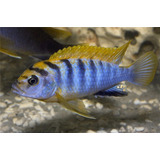Peces Ciclidos Labidochromis Hongi Kimpuma