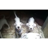 Oferta Originales Cachorros De Dogos Argentinos