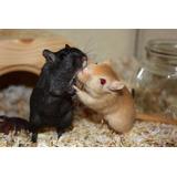 Jerbos Varios Colores Hamster Roedores