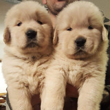 Cachorros Golden Retriever, Padres Importados Full Pedigri