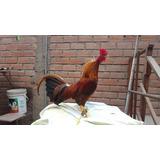 Gallo Español 9 Meses Piquero S/160.00