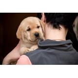 Cachorros Labradores Calidad A-1, Padres Full Pedigri