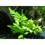 Plantas Acuáticas Para Acuario Helecho Sumatra