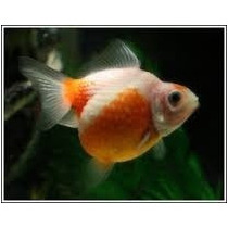 Peces Goldfish Perlitas De 3 Cm A 3.5 Cm = 6.50