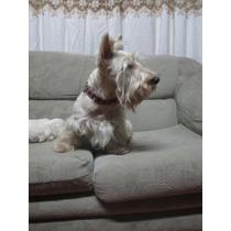 Scottish Terrier Cachorros En Venta