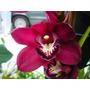 Plantas De Orquideas Cymbidium En Diversos Colores